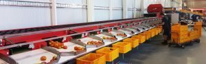 Tomato sorting machine for Australia
